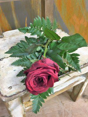 Röd ros med läderblad